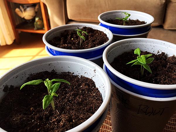 Chocolate Bhutlah seedlings