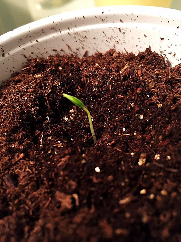 Bhut Jolokia sprout