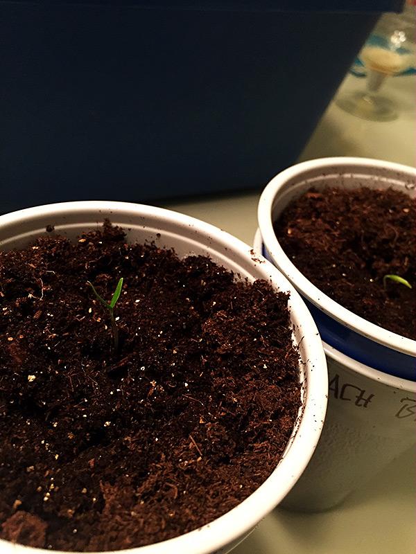 Peach Bhut Jolokia sprouts