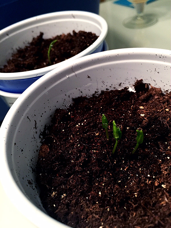 Tequila Sunrise sprouts
