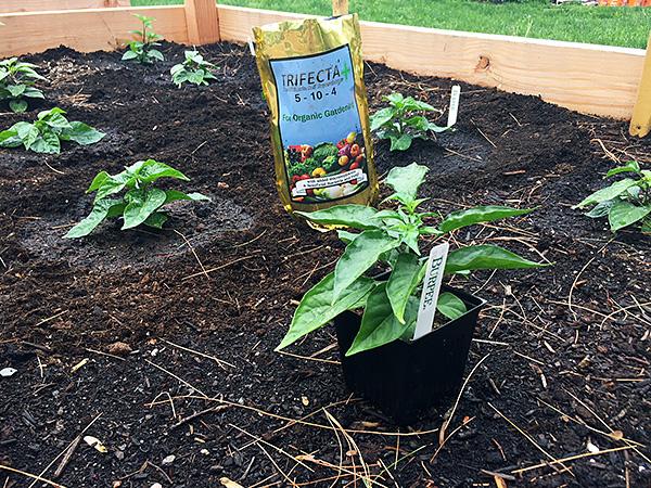 Pepper plants go outside