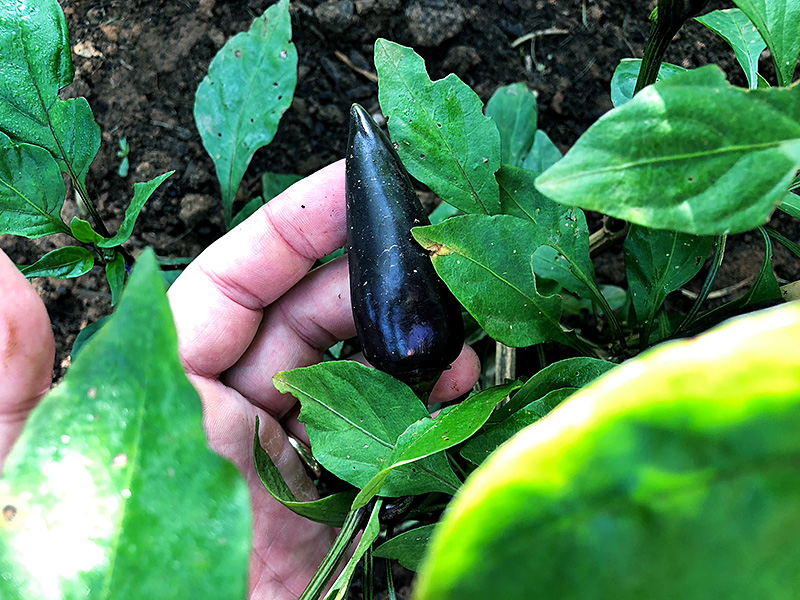 Purple Jalapeno peppers
