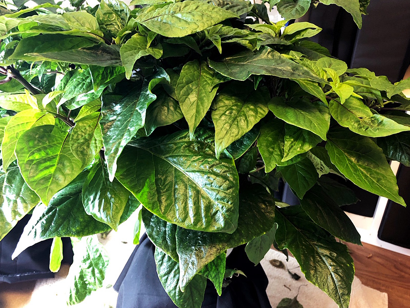 Hydroponic pepper plants