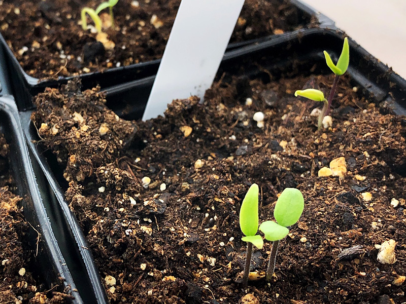 pepper seedlings