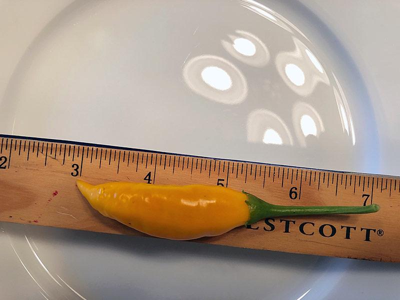 Criolla Sella pepper plant