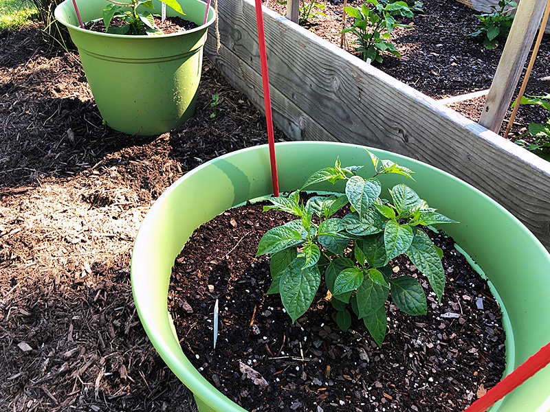 pepper plants in buckets